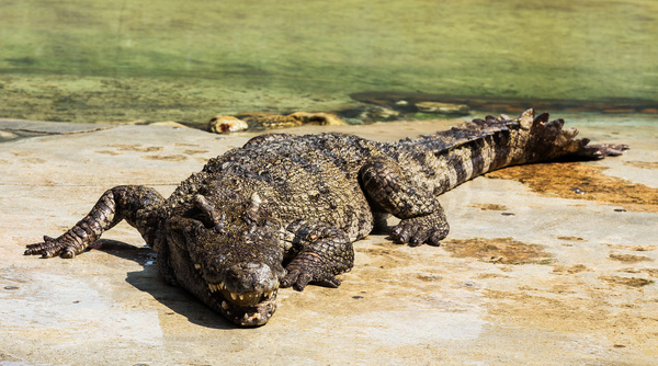 Crocodile on shore Stock Photo