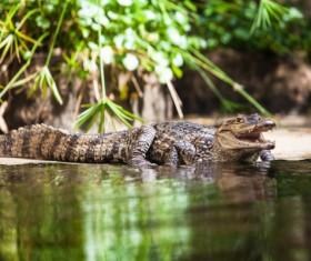 Crocodile on the river bank Stock Photo