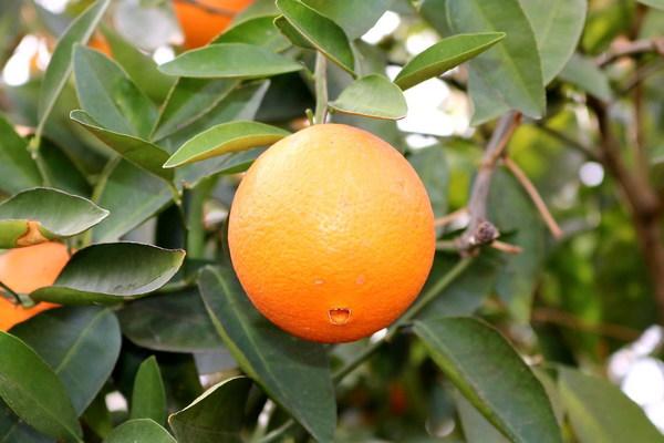Fresh citrus on the orange tree Stock Photo