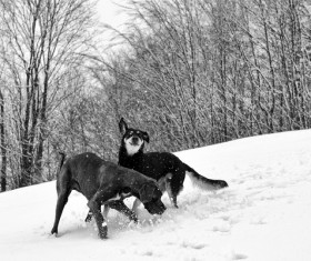 German Great Dane playing in the snow Stock Photo