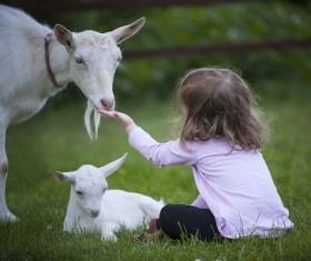 Little girl feeding goats Stock Photo