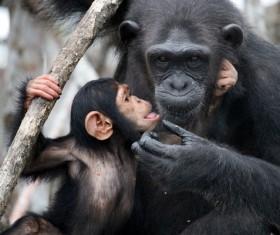 Little orangutan playing Stock Photo