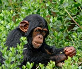 Orangutan in the grass Stock Photo