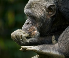 Pensive gorilla Stock Photo