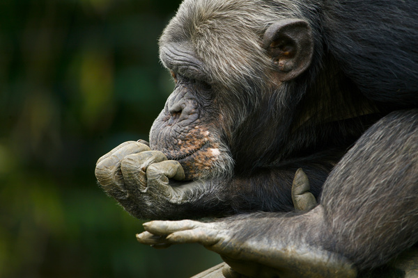 Pensive gorilla Stock Photo