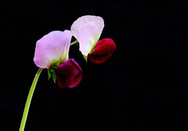 Purple pea flowers Stock Photo