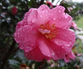 Raindrop mountain Camellia Stock Photo
