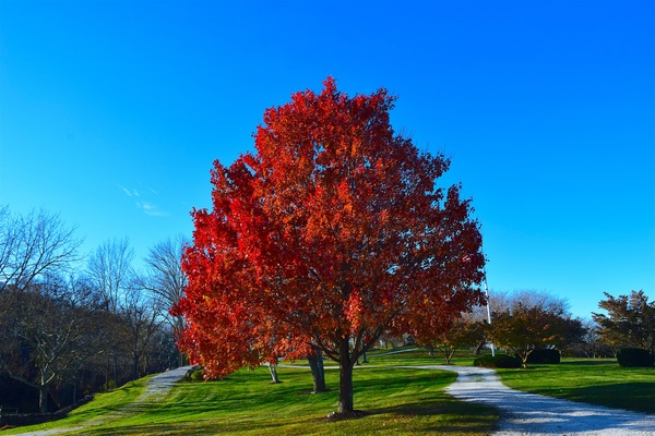Red maple tree in the park Stock Photo