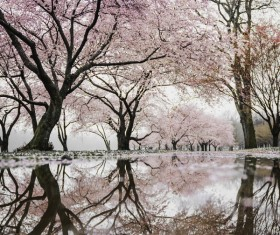 Reflection of beautiful cherry blossom on water surface Stock Photo
