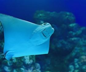 Underwater world batfish Stock Photo