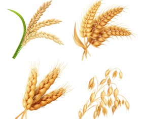 Wheat illustration vector