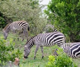 Wild african savannah zebra Stock Photo