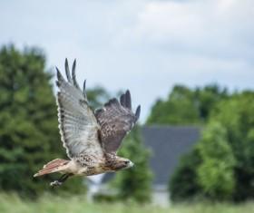 Wild hawk predation Stock Photo