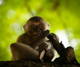 Wild little macaque Stock Photo