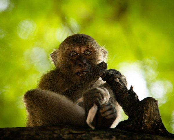 Wild little macaque Stock Photo