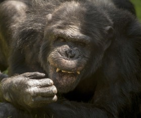 fiendish adult gorilla Stock Photo