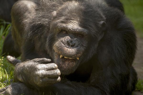 fiendish adult gorilla Stock Photo