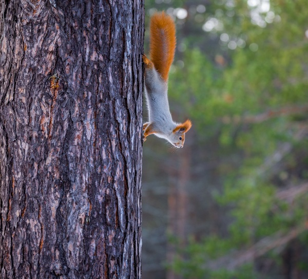 small squirrel climbing down the tree Stock Photo