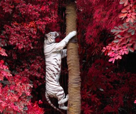 Bengal White Tiger climbs the tree Stock Photo