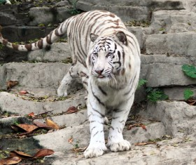 Bengal white tiger Stock Photo 01