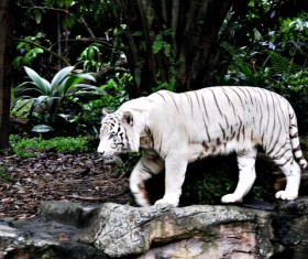 Bengal white tiger Stock Photo 02