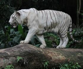 Bengal white tiger Stock Photo 03
