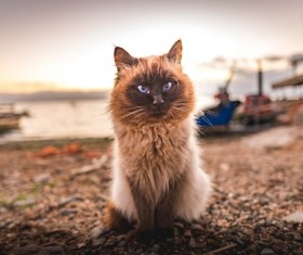 Burma Saint cats Stock Photo