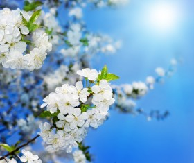 Closeup white apple blossom Stock Photo
