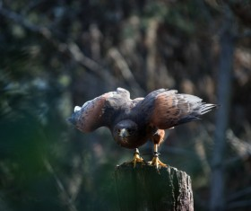 Eagle standing on stump Stock Photo