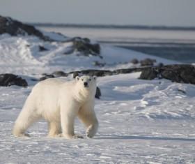 Foraging polar bears Stock Photo