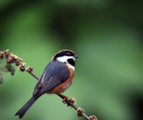 Red-headed long-tailed tit Stock Photo
