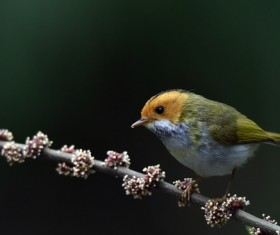 Rufous-faced Warbler Stock Photo