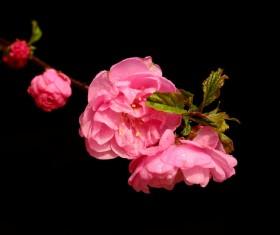 Small pink flowering plum Stock Photo