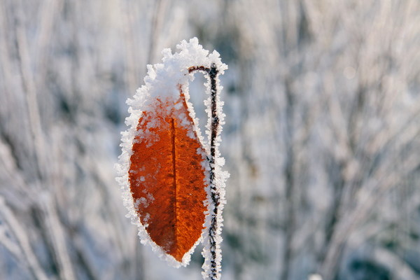 Winter frost yellow leaves Stock Photo