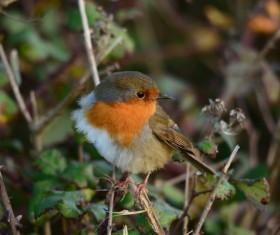 on the branch beautiful robin Stock Photo