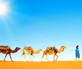 walking in the desert Camel Stock Photo 03