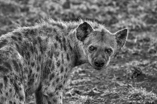 African spotted hyena Stock Photo