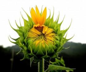 Budding sunflowers Stock Photo