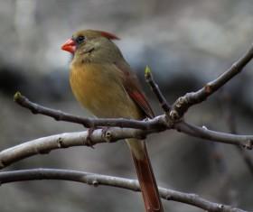 Cardinal grosbeak Stock Photo