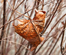 Dry leaves on tree branches in late autumn Stock Photo