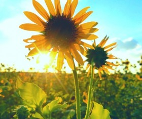 Early morning sunflower Stock Photo