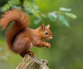 Eurasian red squirrel Stock Photo 01