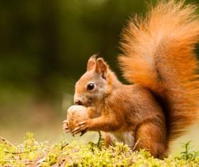 Eurasian red squirrel Stock Photo 02