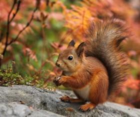 Eurasian red squirrel Stock Photo 04