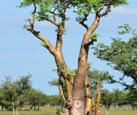 Evergreen tree baobab Stock Photo 01