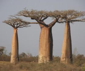 Evergreen tree baobab Stock Photo 02