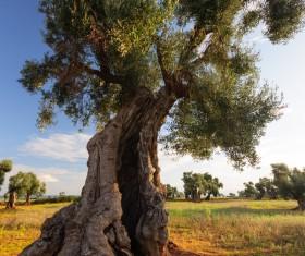Evergreen tree baobab Stock Photo 05