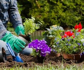 Gardener planting various flowers Stock Photo 04