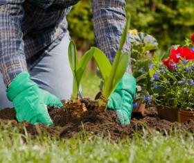 Gardener planting various flowers Stock Photo 06