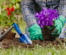 Gardener planting various flowers Stock Photo 07